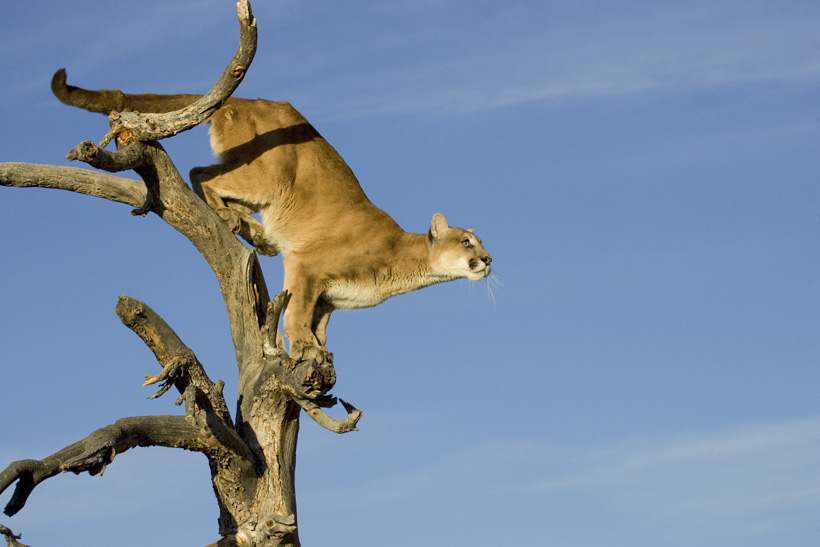 Large mountain lion in a tree