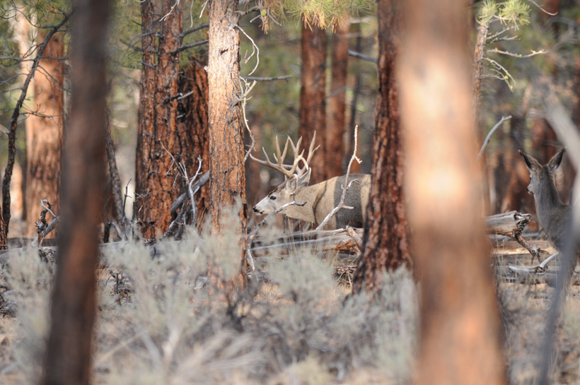 Large nontypical mule deer buck in timber