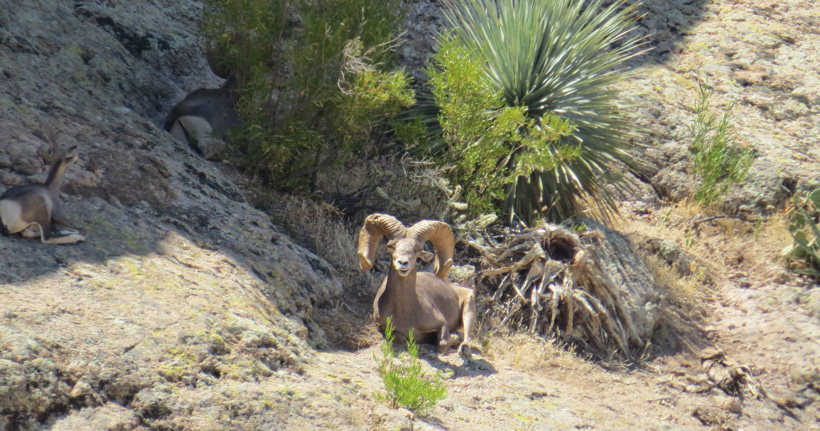 Live photo of Tony Loops Arizona desert bighorn