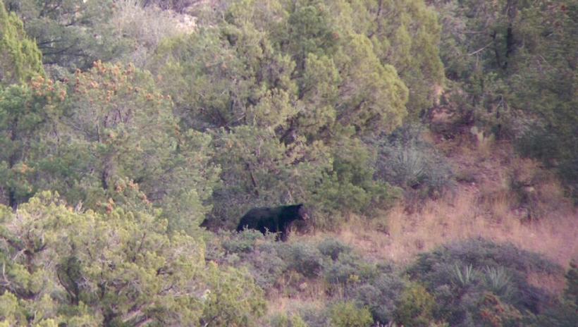 Live photo of a black bear in Arizona