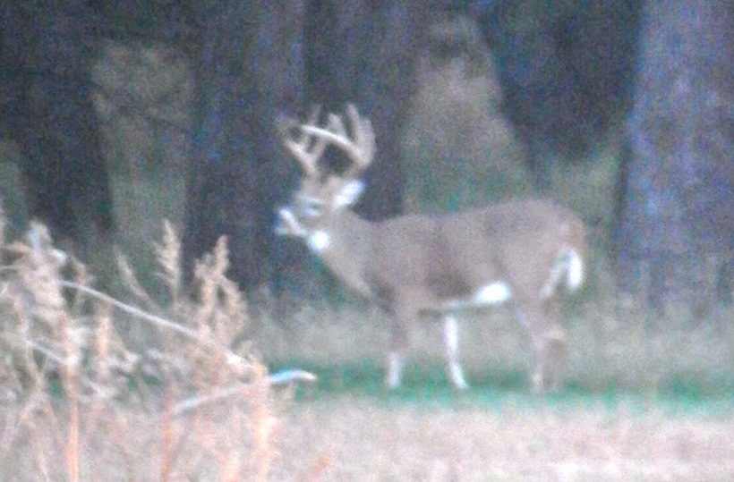 Live photo of an early season whitetail