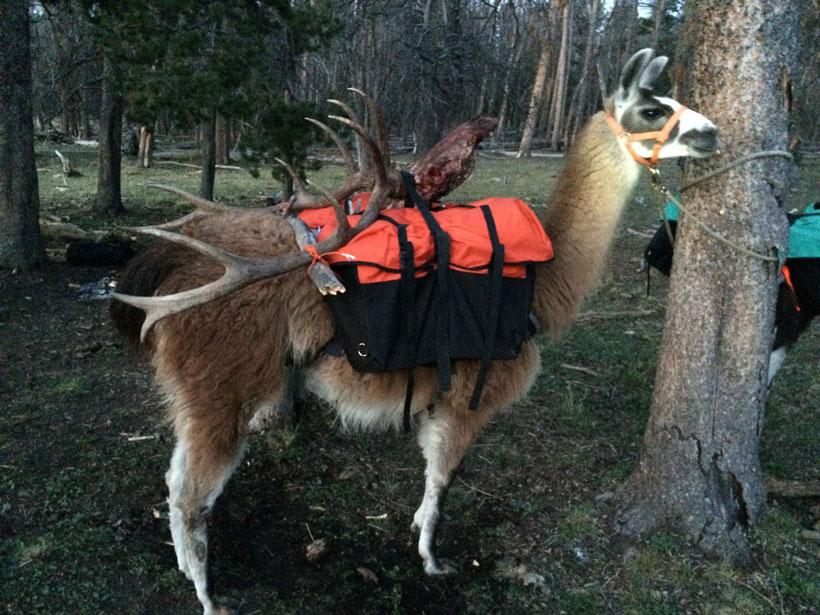 Llama packing elk antlers