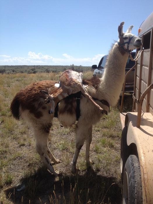 Llama packing out antelope