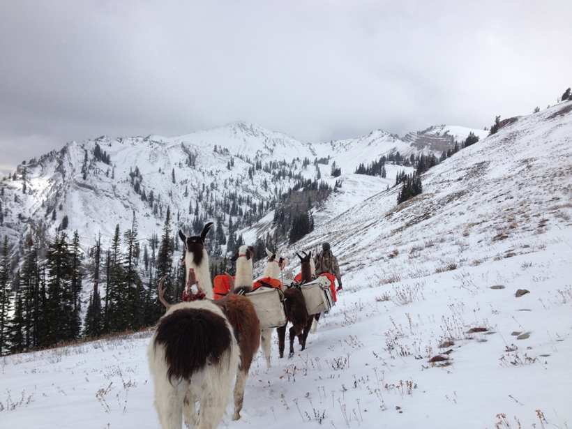 Llamas in grizzly country