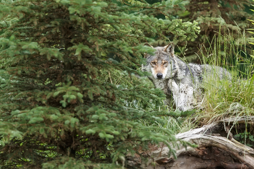 Lone wolf hiding in trees