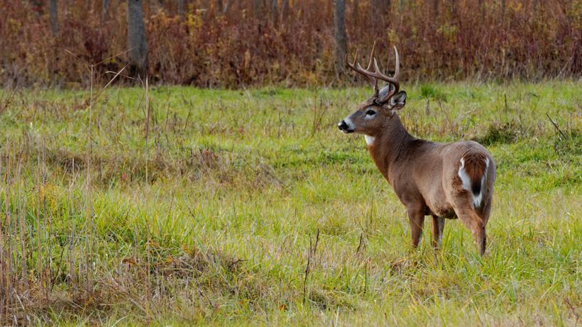 Louisiana deer