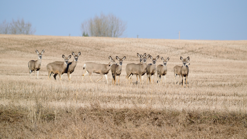 CWD confirmed in 142 animals during Montana's 2019/20 disease sampling