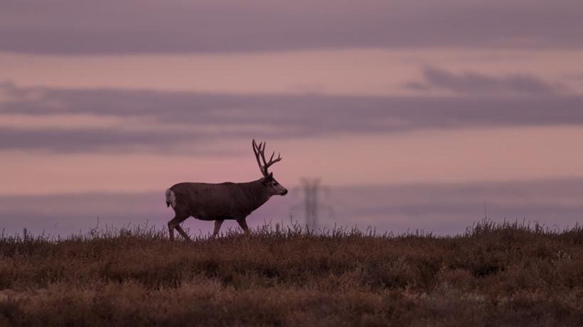 Montana deer