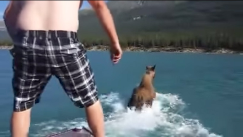 Man jumps on moose from boat