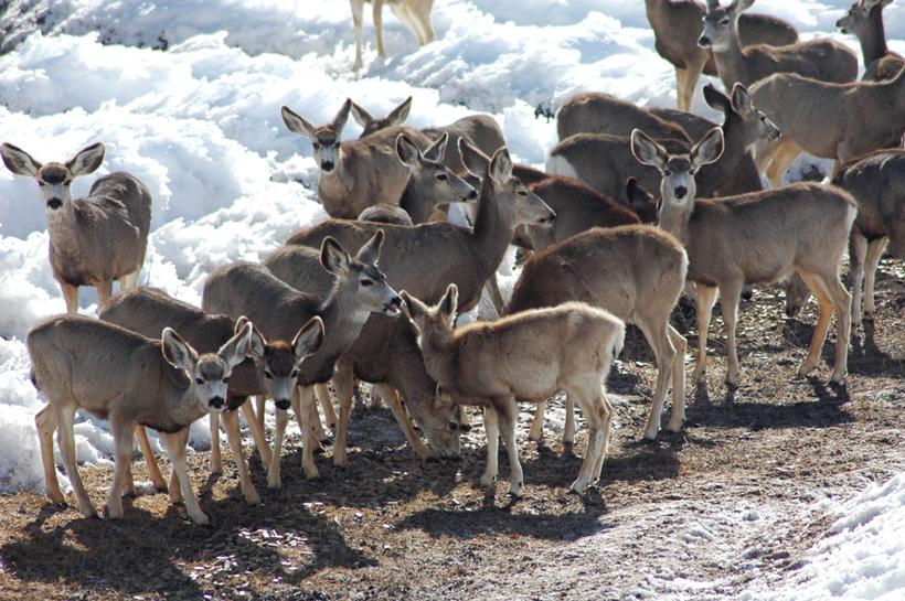 March mule deer feeding ground in Colorado