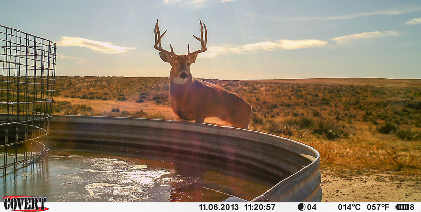 Large mature 4x4 whitetail buck