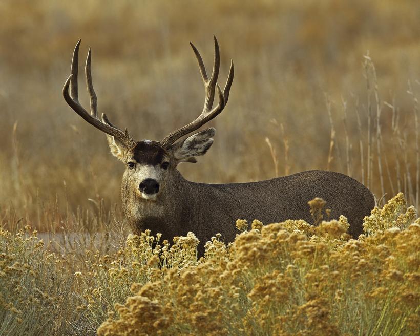 Mature mule deer buck