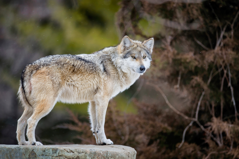 Mexican wolf recovery