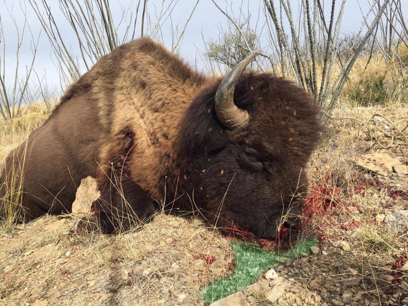 Mexico bison taken with a bow by Hunter Haynes