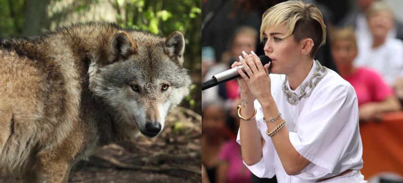 Miley Cyrus and wolves