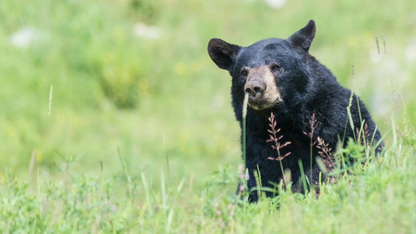 Missouri considers first black bear hunt in modern history
