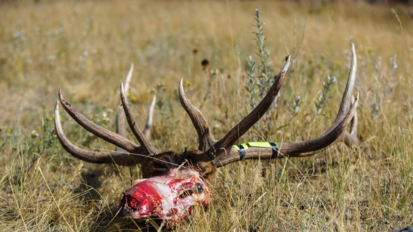 Elk skull - Tagged out
