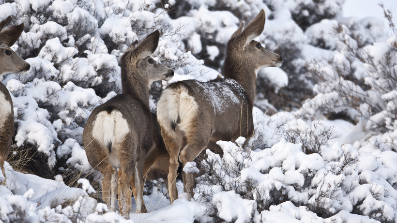 Montana approves CWD hunt