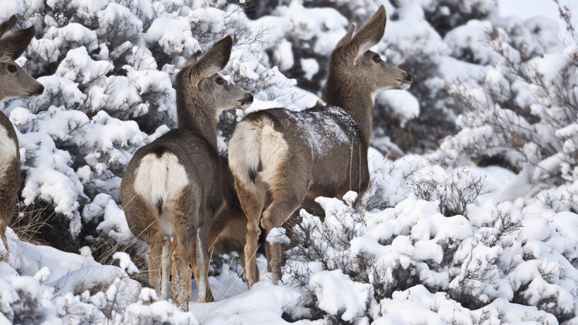 New big game studies in Montana aimed at declining numbers, disease