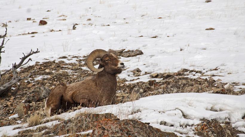 Montana bighorn sheep management plan