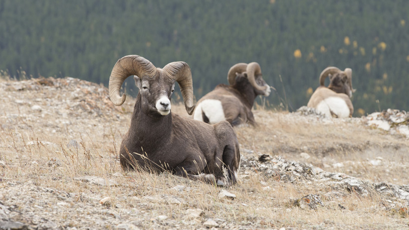 Bighorn sheep to return to Little Belt Mountains