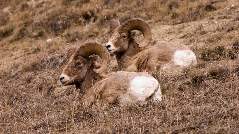 Bighorn sheep to return to Tendoy Mountains