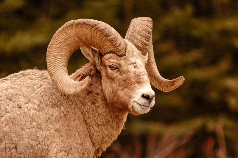 Montana bighorn sheep over-the-counter hunt