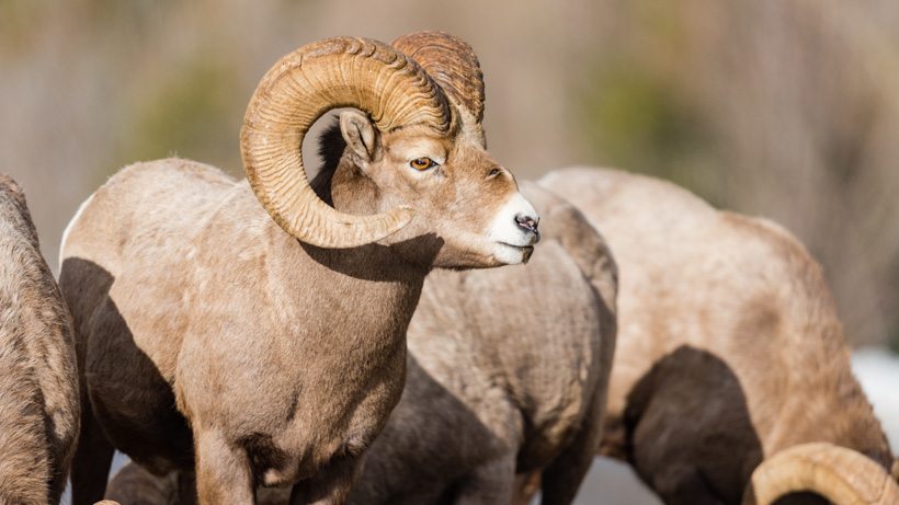Montana bill to make bighorn sheep moose and mountain goat once-in-a-lifetime licenses