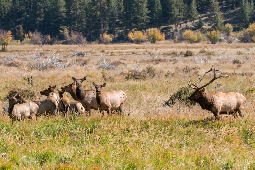 Montana's elk overpopulation on private land