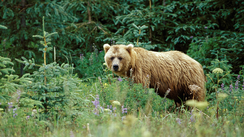 Montana FWP euthanizes two bears for food conditioning