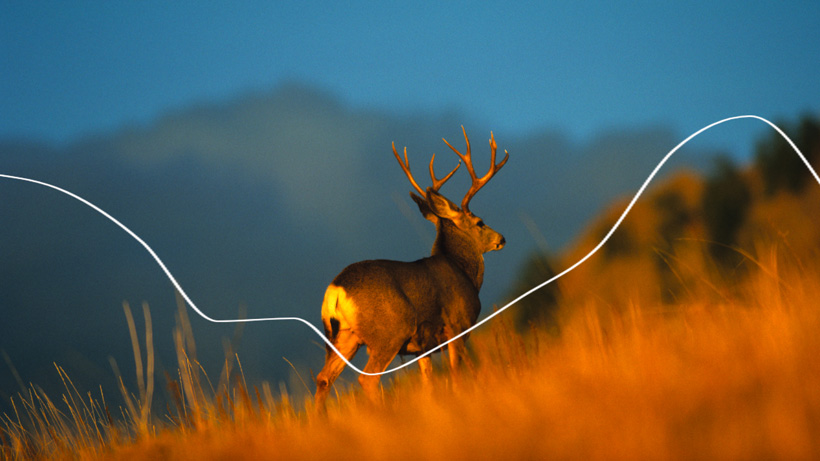 Montana historical mule deer population and harvest breakdown