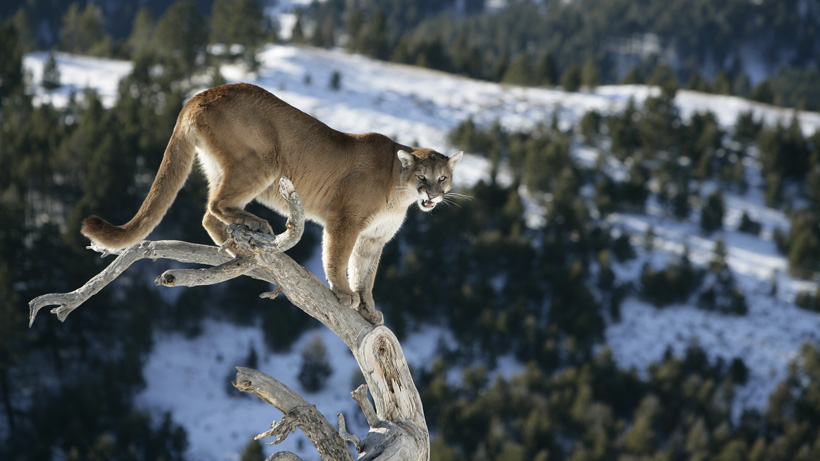 Montana mountain lion management plan
