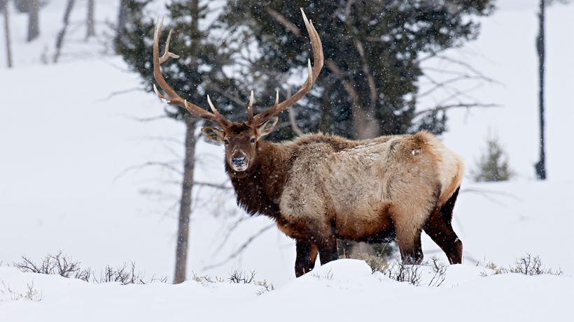 Report says Montana man gunned down elk when he was forced to slow down
