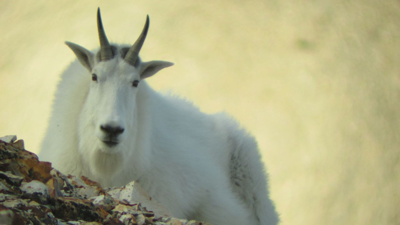 Mountain goat close up photo
