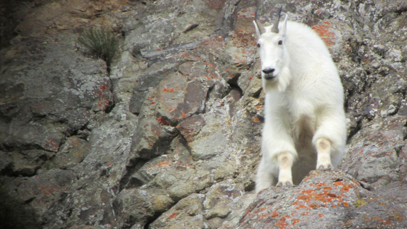 Mountain goat digiscope photo in Utah