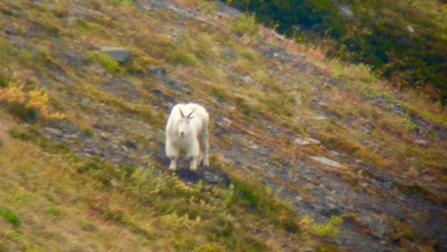 Mountain goat in British Columbia