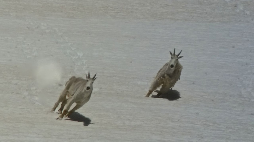Mountain goats running through a sowfield