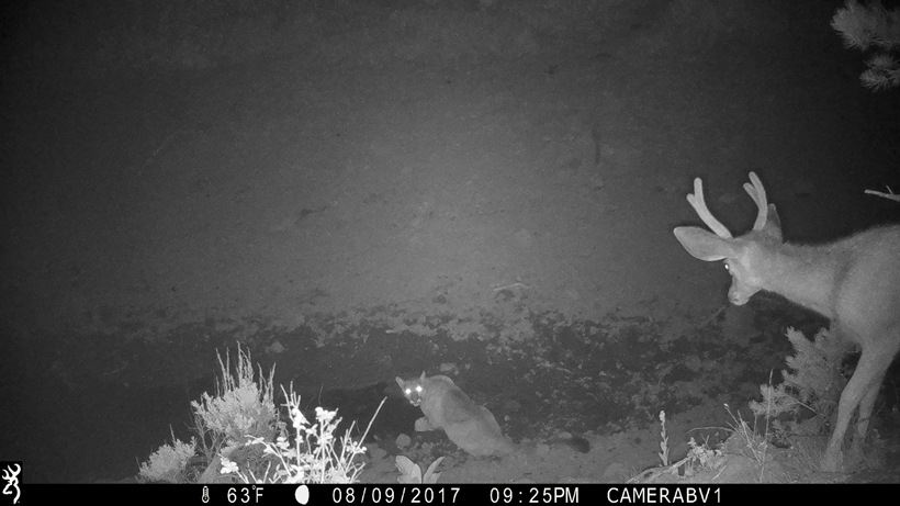 Mountain lion and mule deer on trail camera