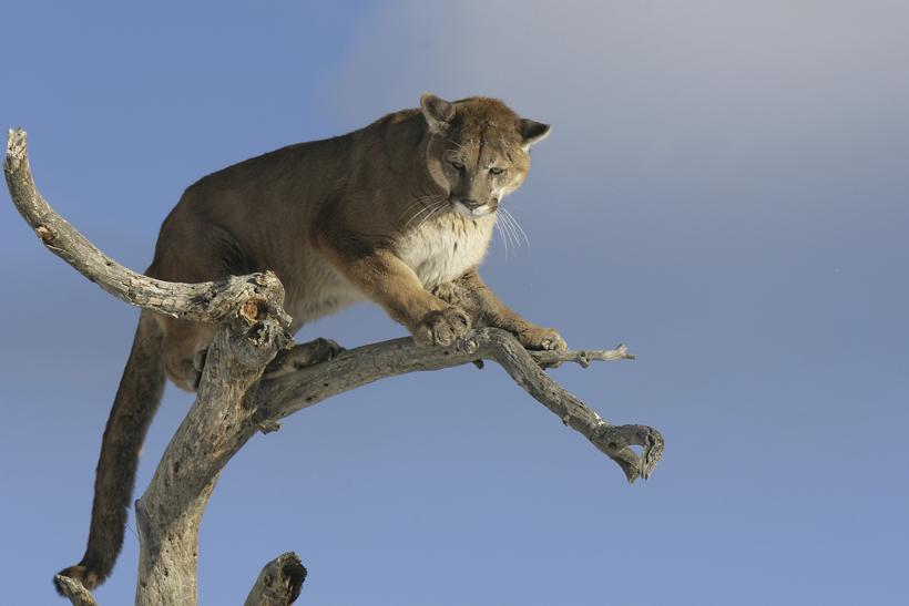 Mountain lion in tree