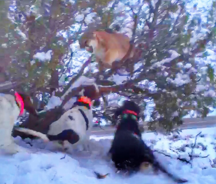 Mountain lion jumping out at the dogs