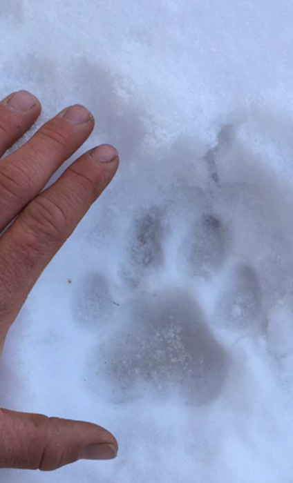 Mountain lion track in the snow