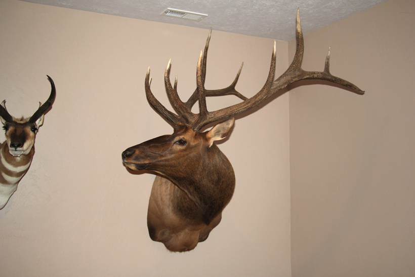 A well taken care of bull elk mount