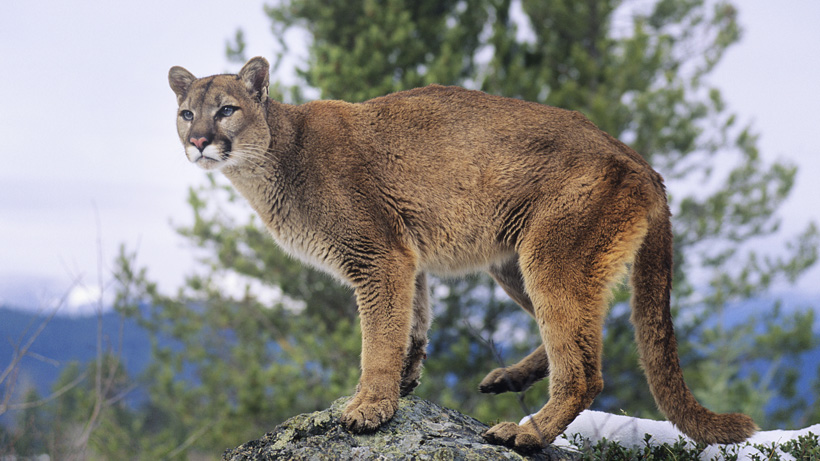 Mountain lion study