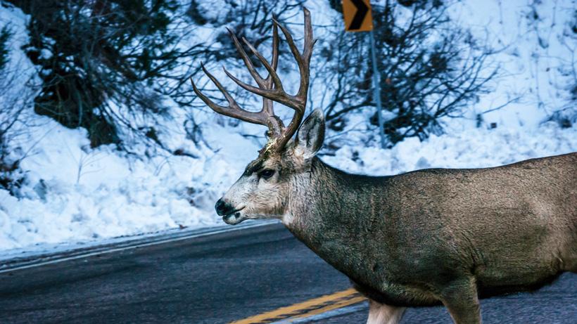 Washington Mule Deer