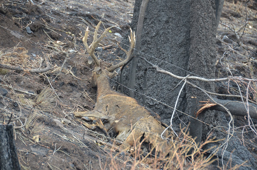 Mule deer buck dead after wildfire