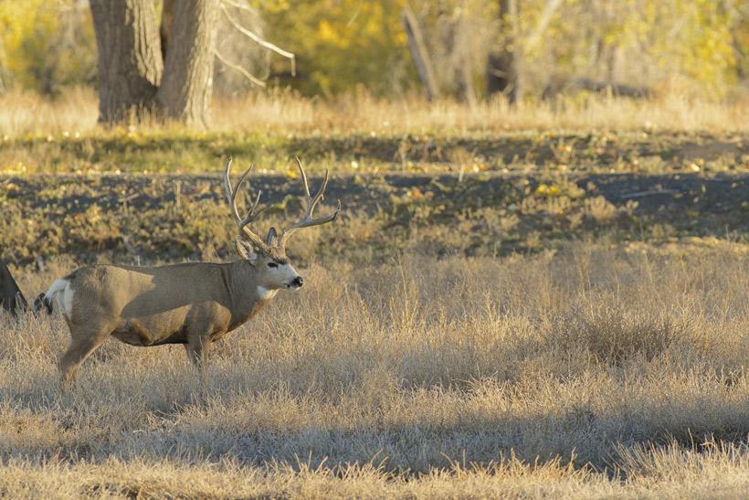 Mule deer buck fall