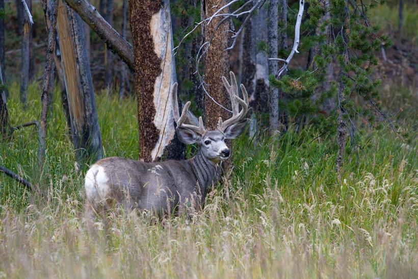 Mule deer buck in dark timber