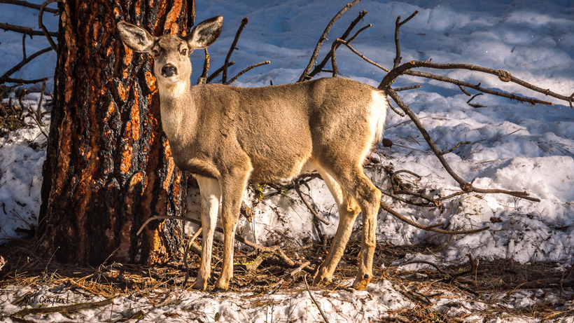 Mule deer doe on winter range