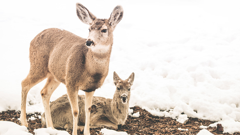 Mule deer during winter