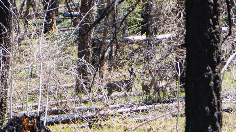 Mule deer spotted